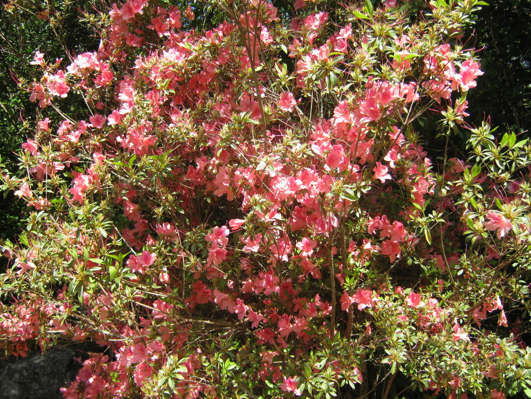 Shrubs with purple flowers at end of branch - Azalea