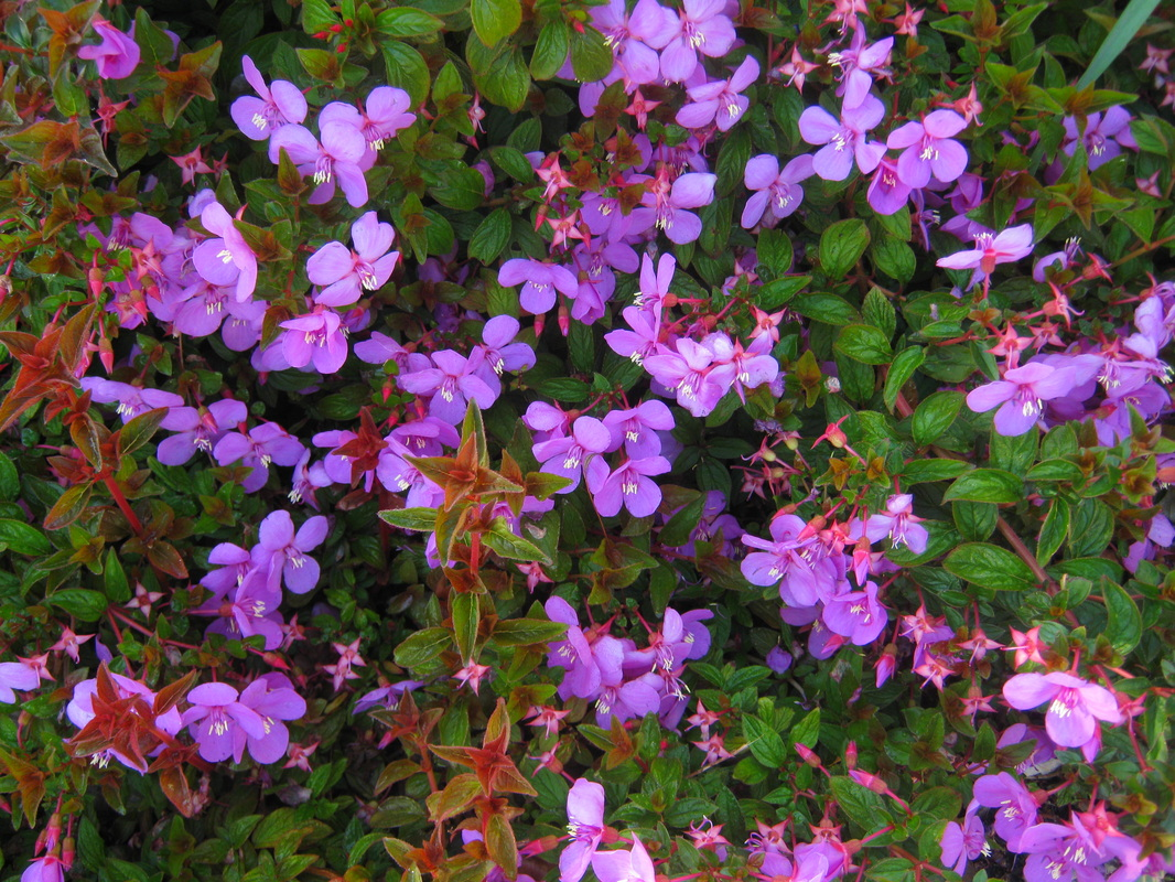 Shrubs with purple flowers at end of branch - A Quick Growing Small Shrub Suitable For Ground Cover Or Rock Gardens It Has Attractive Red Deep Pink Flowers In Late Spring And Attractive Red Stems