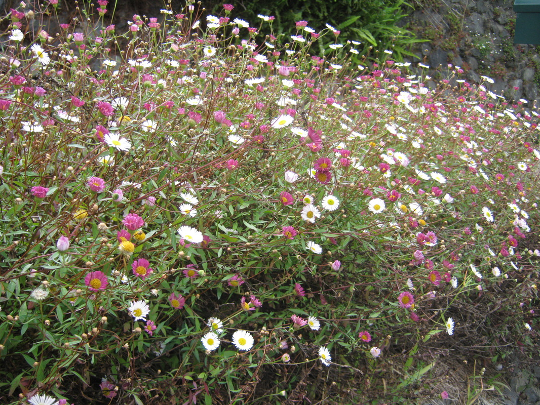 Wildflowers the trees flowers of whangarei early srttlers planted the mexican daisy for its flowers especially as a rock garden plant but it soon spread to become a pedt plant mightylinksfo