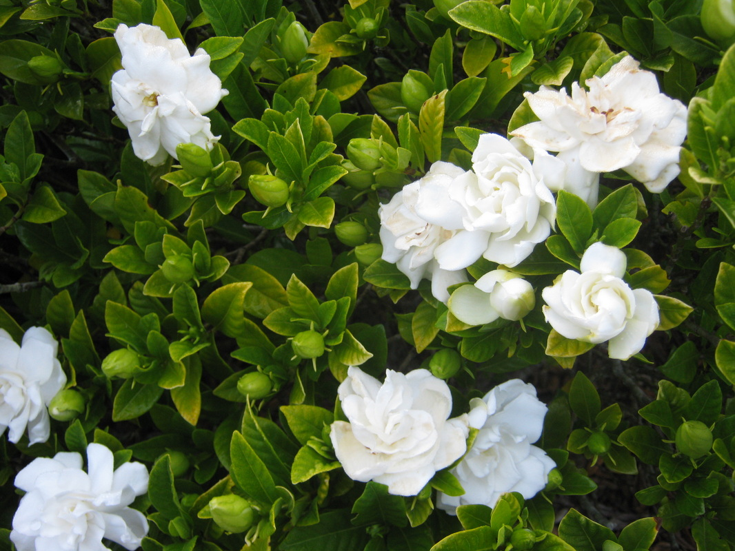 Exotic shrubs the trees flowers of whangarei gardenia species g jasminoides g augusta cape jasmine izmirmasajfo