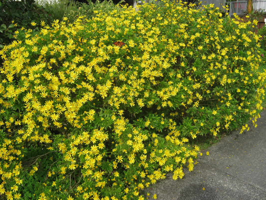 Exotic shrubs the trees flowers of whangarei euryops mightylinksfo