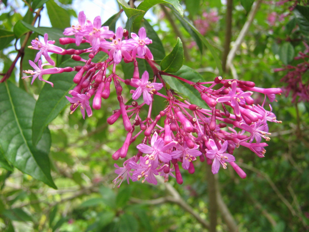 Exotic shrubs the trees flowers of whangarei a spectacular shrub or small tree from the cool highlands of mexico and central america it is covered in large panicles of bright pink flowers mightylinksfo
