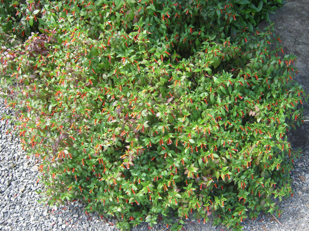 Exotic shrubs the trees flowers of whangarei cuphea ignea gigarette bush or cigar plant or firecracker plant sciox Images
