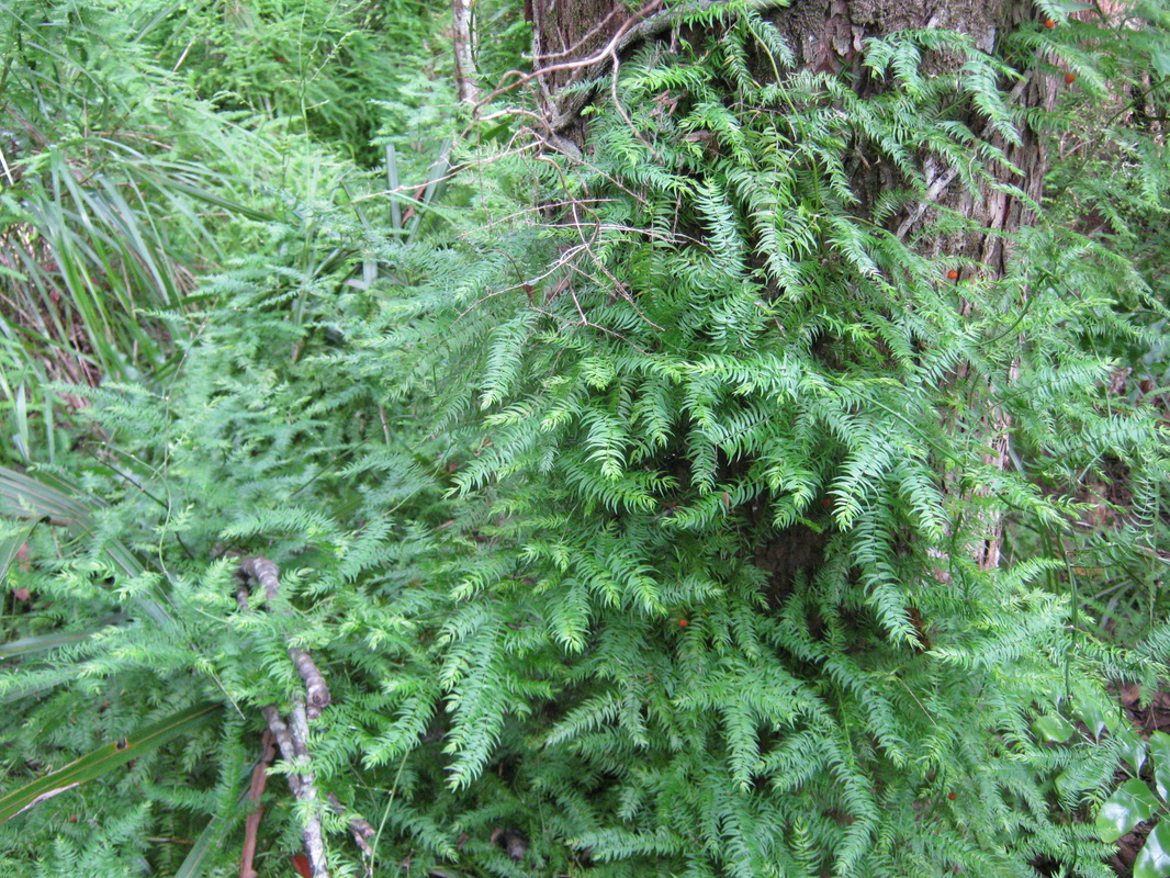 Hedges shade plants the trees flowers of whangarei asparagus scandens an invasive species in new zealand see invasive plants mightylinksfo