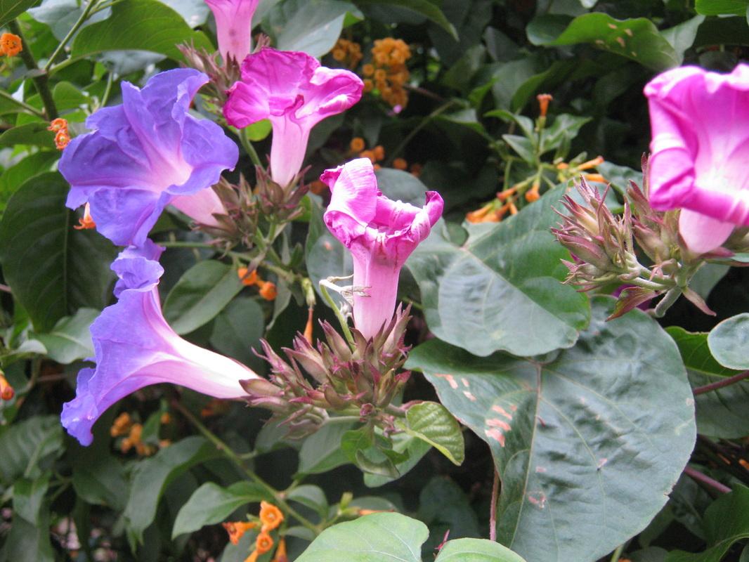 Wildflowers the trees flowers of whangarei lathyrus latifolius common name perennial peavine perennial pea or everlasting sweet pea a flowering plant of the genus lathyrus of the legume mightylinksfo