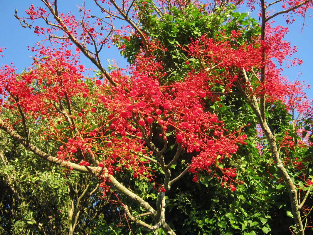 Exotic Trees The Trees Flowers Of Whangarei