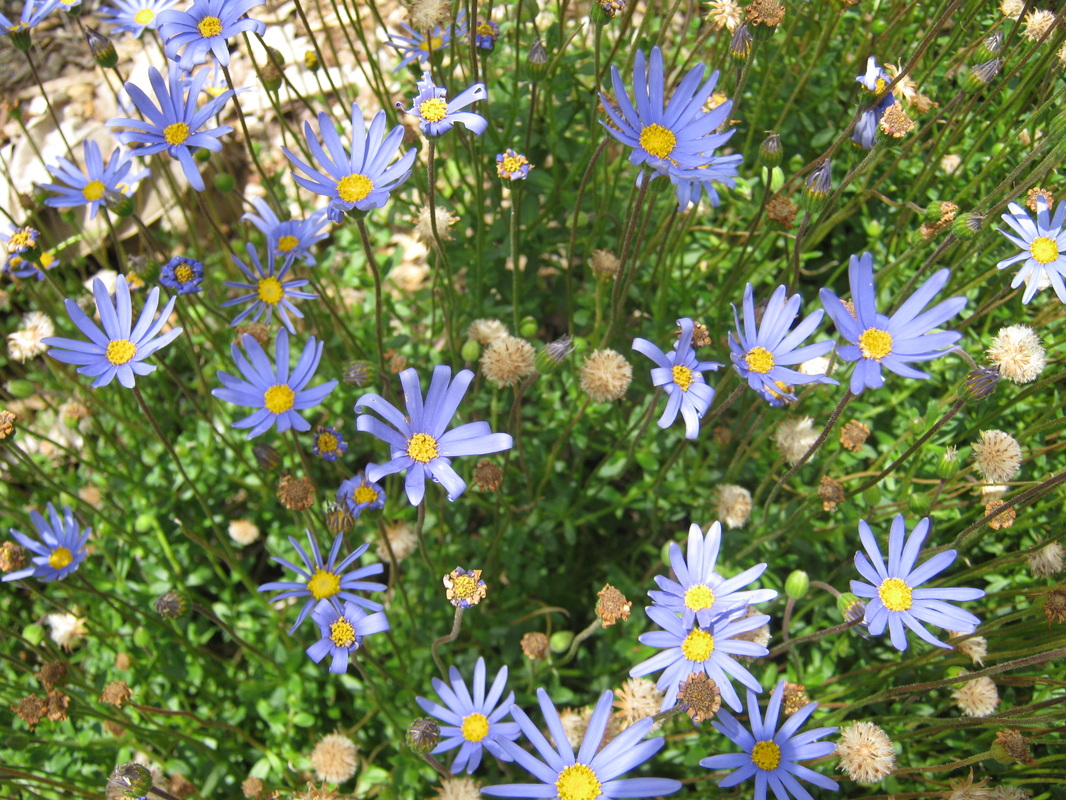 Exotic shrubs the trees flowers of whangarei felicia amelloides blue marguerite blue daisy izmirmasajfo