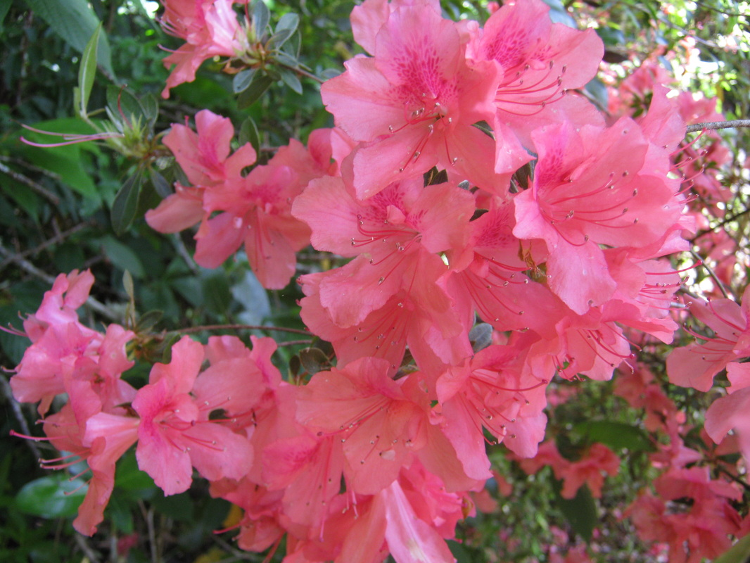 Exotic shrubs the trees flowers of whangarei azalea flowers range from white through pink to red often lasting for several weeks they prefer shade living near or under trees mightylinksfo