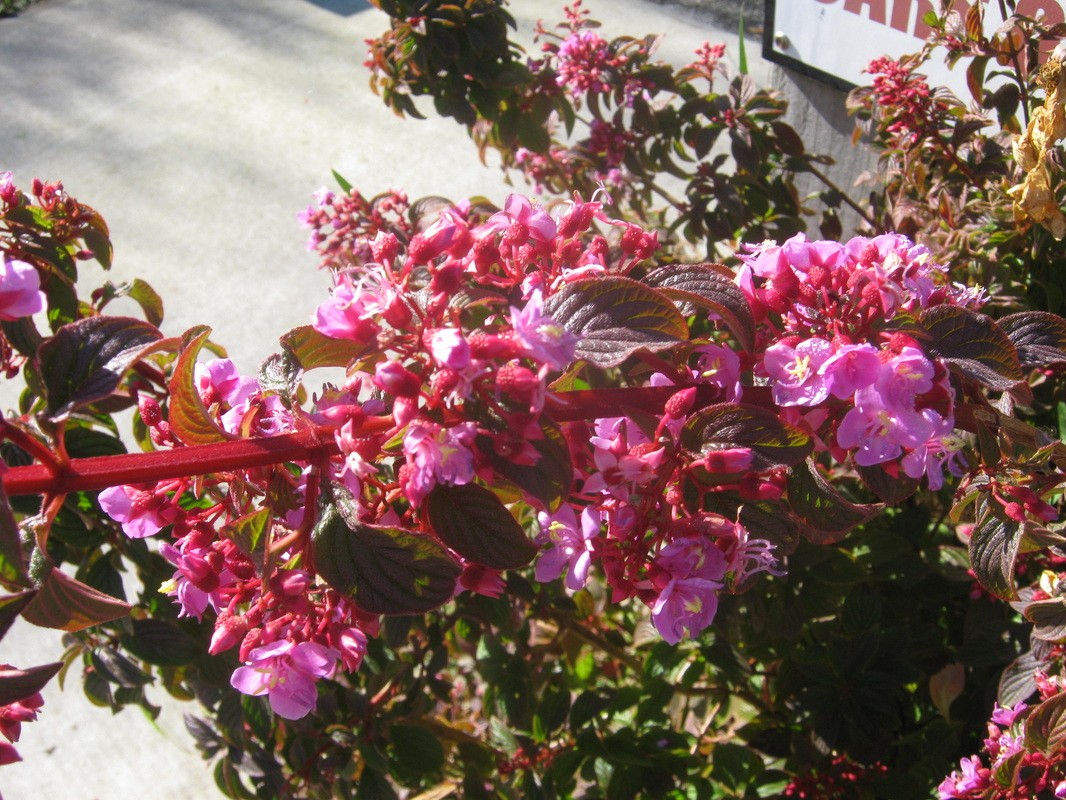 Exotic shrubs the trees flowers of whangarei a quick growing small shrub suitable for ground cover or rock gardens it has attractive red deep pink flowers in late spring and attractive red stems mightylinksfo